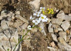 Flora da Serra da Arrábida: Couve-bastarda (Crambe hispanica)