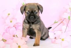 Starburst | Keystone Puppies: Puppies for Sale | Health Guaranteed    #puggle #keystonepuppies Puggle Puppies For Sale, Puppies Puppies, Health, Dogs, Animals, Health Care, Animaux, Doggies, Animal