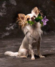"""Swiffer"" Chihuahua"