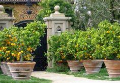 Oranges in Clay
