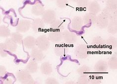 Trypanosoma brucei- tripomastigoti, kinetonucleu posterior, nucleu median, flagel anterior, membrana ondulanta lunga