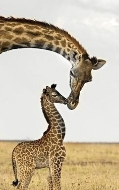 Cute Animals baby animals :) 70 Cutie Baby Animals Bring You a Good Mood Giraffe mom and baby and my heart just melted? Cute Baby Animals, Animals And Pets, Funny Animals, Wild Animals, Beautiful Creatures, Animals Beautiful, Tier Fotos, My Animal, Animal Room