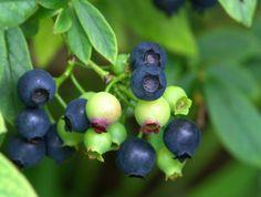 Vaccinium hybr. 'Putte', hybridblåbär. Svenskt självfertilt blåbär som ger en mycket riklig mängd söta bär i omgångar i augusti. Brett växtsätt, blir ca 1 m bred. Planteras i sol-halvskuggigt läge. Höjd:0,4-0,6 m. Vill ha lågt pH i marken. Får vacker höstfärg.