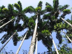 Syagrus sancona palm