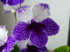 Streptocarpus 'LOLA '- NEW-POLAND-African Violet Kin ~ My new variety.