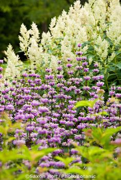 Monarda 'Scorpion', Beebalm, Bergamot upright towering perennial in Lurie Garden Millenium Park, Chicago with White Dragon Knotweed (Persicaria polymorpha)