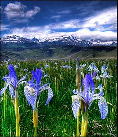 Iris near Bridgeport, CA, in the eastern shadow of the Sierra Nevadas