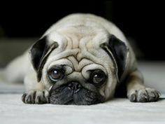 my pugs name is poncho, so cute