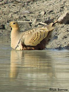 Chestnut-bellied Sandgrouse (Pterocles exustus). They are found in sparse, bushy, arid land which is common in central and northern Africa, and southern Asia. Though they live in hot, arid climates, they are highly reliant on water
