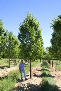 Acer rubrum x 'Armstrong'  Armstrong Red Maple  45'h x 15'w    Fast growing, upright selection of Red Maple. Suitable for narrow sites where space demands a tree that will not spread.