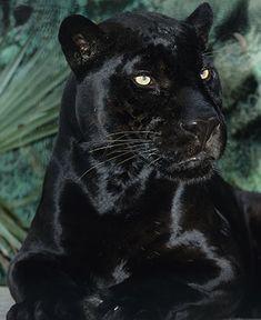 Orson, a beautiful black jaguar at the San Diego Zoo, celebr Black Animals, Zoo Animals, Cute Baby Animals, Animals And Pets, Wild Animals, Beautiful Cats, Animals Beautiful, Beautiful Pictures, Black Jaguar Animal