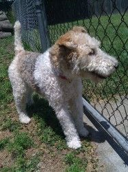 Sadie has been adopted! SADIE is an adoptable Wire Fox Terrier Dog in Mokena, IL. Wire Fox Terrier Rescue is a 501(c)3 non-profit organization dedicated to the Rescue, Rehabilitation and Rehoming of Wire Fox Terriers in the ...