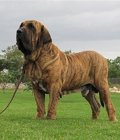 The Brazilian Mastiff (Fila Brasileiro) bred and raised primarily on large plantations and cattle farms where they were originated.