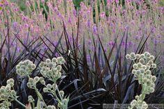 A wonderfully dramatic combination by Adam Woodruff: Eryngium yuccifolium, Pennisetum 'Princess Caroline', Lythrum 'Morden's Gleam'