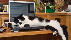 cat napping on laptop