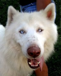 What tongue? Husky Mix, Beautiful Dogs, All Dogs, My Children, Sweet, Cute, Animals, Cute Dogs, Candy