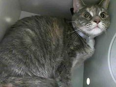 TO BE DESTROYED 7/9/14 ** Brooklyn Center  My name is CHELBY. My Animal ID # is A1005417. I am a spayed female brn tabby and white domestic sh mix. The shelter thinks I am about 4 YEARS old.  I came in the shelter as a STRAY on 07/02/2014 from NY 11416