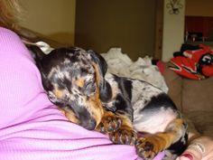 Dappled dachshund puppy sleeping.  Aww.