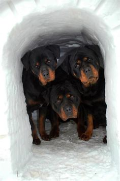 Rottweilers in an igloo. Oh the cuteness.