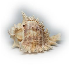 Lovely Large Murex Sea Shell Specimen by silvergoldbuyers on Etsy