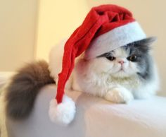Christmas cat not too happy about the hat!  funholidaycats.com