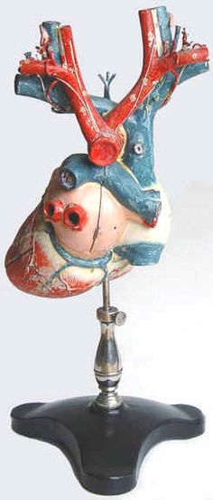 vintage anatomical model