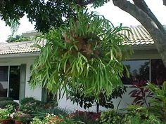 Will be hanging a Staghorn Fern in my Florida garden.  These plants are actually air plants that need no soil to grow.  The amazing thing about these ferns is that they also feed off their own composted frond material.