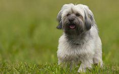 Download wallpapers Bichon Havanese, 4k, lawn, pets, Havana Bichon, cute animals, dogs, fluffy dog, Havana Bichon Dog