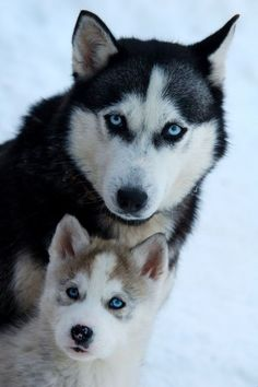 """Explore our site for more info on """"husky dogs"""". It is an outstanding area to get more information. Wolf Husky, Siberian Husky Puppies, Husky Puppy, Siberian Huskies, Funny Husky Meme, Cute Puppies, Cute Dogs, Malamute, Husky With Blue Eyes"""
