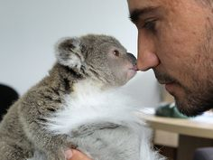 nick de vos with rescued baby koala at taronga zoo
