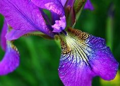 Featured Art - Purple Iris 1 by Mo Barton