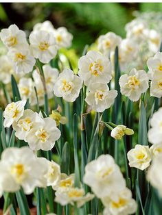 Paperwhite Daffodils are perfect for forcing (just place them on some pebble stones in a pot and water freely). Description from adrbulbs.com. I searched for this on bing.com/images