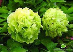 Japońska Piwonia Drzewiasta Green Odmiana Dou LV (Paeonia suffruticosa)