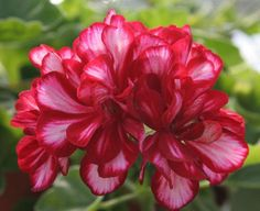 Geranium Photo:  This Photo was uploaded by JudeHart. Find other Geranium pictures and photos or upload your own with Photobucket free image and video ho...