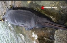 RARELY SEEN BEAKED WHALE WASHES ASHORE IN MASSACHUSETTS - Scientists say they live in very deep water