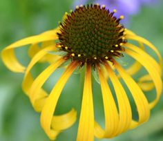 Echinacea #flower – learn grow #echinacea http://www.growplants.org/growing/echinacea