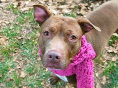TO BE DESTROYED- 11/20/14 Manhattan Center -P My name is DAISY. My Animal ID # is A1019691. I am a female brown and white pit bull mix. The shelter thinks I am about 1 YEAR I came in the shelter as a STRAY on 11/04/2014 from NY 10457, owner surrender reason stated was STRAY.
