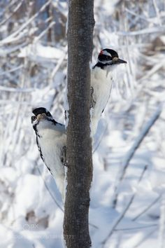 Two Hairy Woodpeckers by Andre_Villeneuve