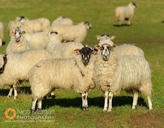 Sheep in the park