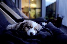 Mir Mini Australian Shepherd | Pawshake