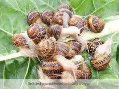 Snail Farming: Things to know Before Starting Your Snail Farm Business