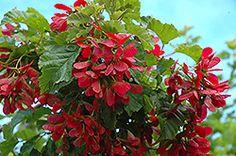 Hot Wings Tatarian Maple (Acer tataricum 'GarAnn') at Millcreek Nursery Ltd