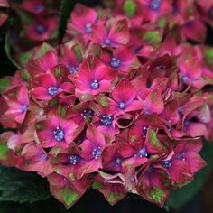 Buy hydrangea Hydrangea macrophylla 'Glam Rock ('Horwack') (PBR)' - Each flower is made up of three luscious colours: Delivery by Crocus Hydrangea Potted, Hortensia Hydrangea, Hydrangea Macrophylla, Hydrangea Flower, Garden Shrubs, Flowering Shrubs, Types Of Soil, Soil Type, Flowers
