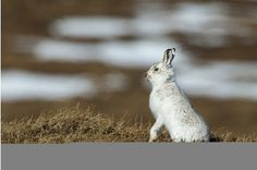Mountain hares thriving on grouse moors | Herald Scotland Grouse moor management good for Mountain Hares, say people with vested interest in Grouse Moors being good for Mountain Hares. It's amazing that these Hares managed to cope before the invention of the gun.
