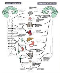 Le système sympathique et parasympathique