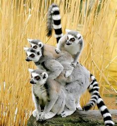 Lemur Family, The ring-tailed lemur is a large strepsirrhine primate and the most recognized lemur due to its long, black and white ringed tail. It belongs to Lemuridae, one of five lemur families, and is the only member of the Lemur genus The Animals, Nature Animals, Baby Animals, Funny Animals, Wild Animals, Beautiful Creatures, Animals Beautiful, Tier Fotos, All Gods Creatures