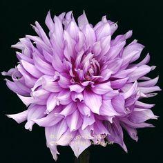 """Oregon Reign Dahlia (9"""" bloom; 4.5' bush): blue-tone lavender."""
