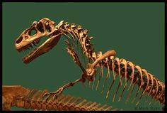 Utah designated allosaurus as the official state fossil in 1988. Living 145 to 150 million years ago in Utah, Wyoming, Montana, Colorado, New Mexico, South Dakota, and Oklahoma, allosaurus was the most common large carnivore of the Late Jurassic period in North America (a predecessor of the larger Tyrannosaurus of the Cretaceous).