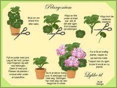 Rigmor's Pelargonium: PELARGONIUM STIKLINGER