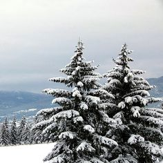 """Beautiful snow-laden evergreen trees on a hillside above the City of Vernon in British Columbia, Canada. """"Winter Bliss"""""""